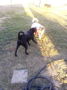 Daisy playing with her friend, Toby, at the sanctuary