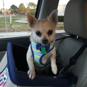 Pepper on the way to his heartworm treatments